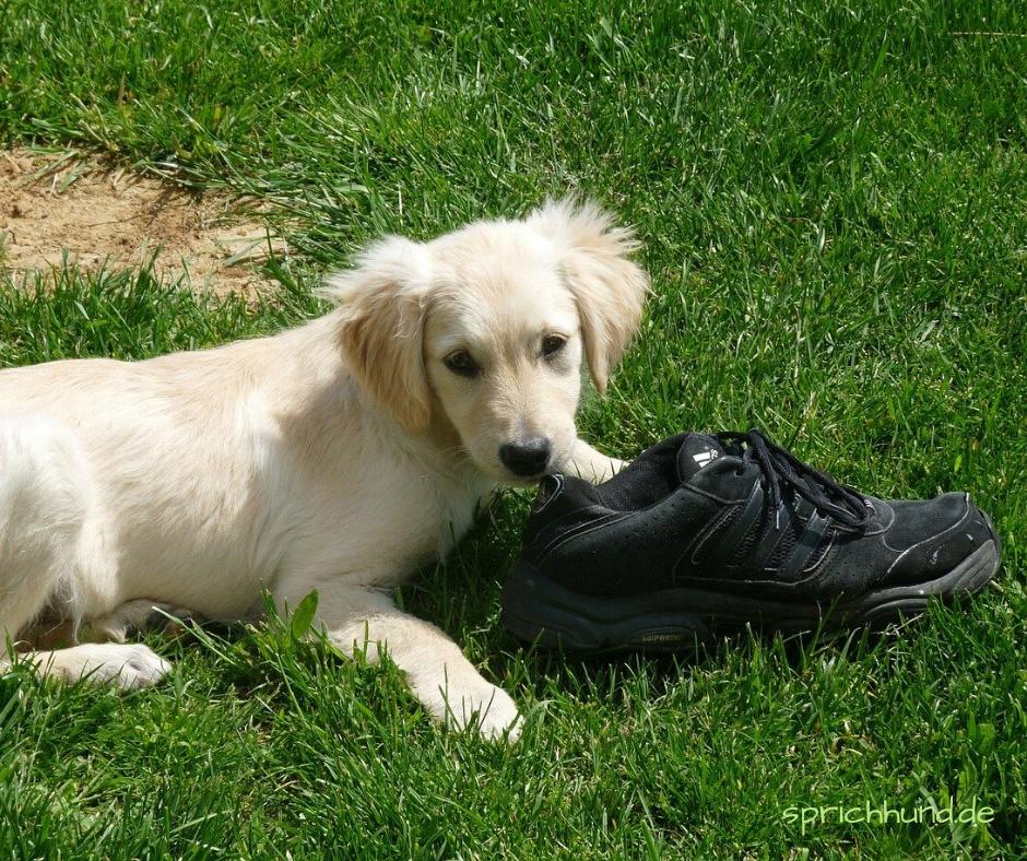 Hund liegt auf der Wiese und hat einen Schuh vor sich liegen